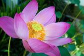 Růžový lotos