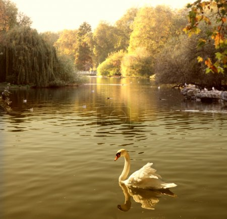 Photo pour Beau cygne dans un lac - image libre de droit