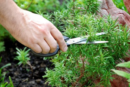 Photo for Hand cutting a green fresh rosemary branch in seasoning garden - Royalty Free Image