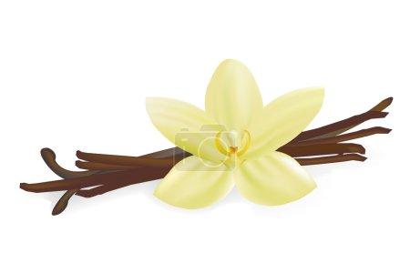 Illustration pour Dosettes et fleurs de vanille, Isolé sur fond blanc, Illustration vectorielle - image libre de droit