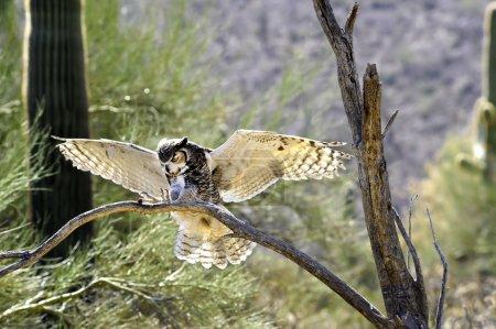 Photo pour Un grand hibou à cornes débarquant sur une branche aux ailes déployées - image libre de droit
