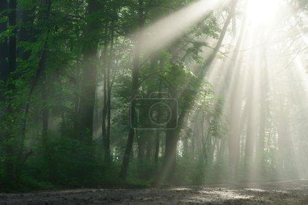 Photo pour Rayons de soleil, visibles à travers les arbres dans le matin brumeux. - image libre de droit