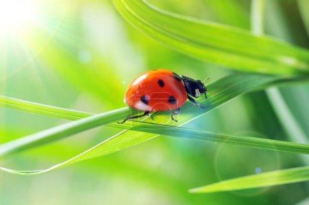 Photo pour Coccinelle courant sur un brin d'herbe verte. Belle nature - image libre de droit