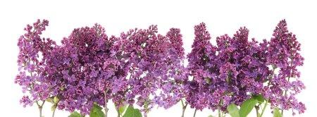 Foto de Ramas de un fondo morado lila frontera aislado en blanco - Imagen libre de derechos