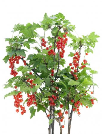 Red currant bush isolated