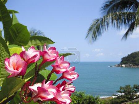 Frangipani tropical flowers koh samui