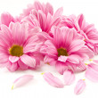 Blooming beautiful pink flower isolated on white b...