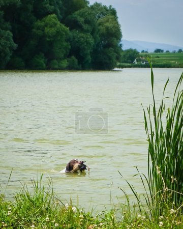 The hunting dog
