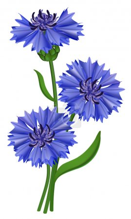 Illustration for Flowers blue cornflower (Centaurea cyanus). Vector illustration. - Royalty Free Image