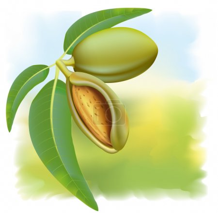 Almonds. Branch with leaves and fruits.