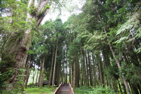 The forest of Alishan mauntian in taiwan