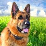 German shepherd...