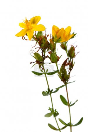Hypericum perforatum, St John's wort flower on white