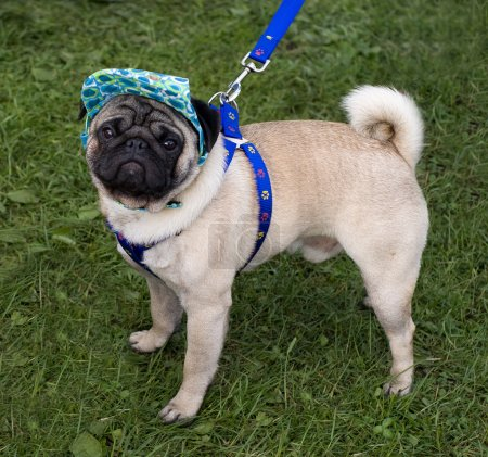 Pug with a cap and blue collar