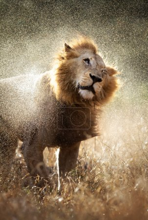 Lion shaking off water