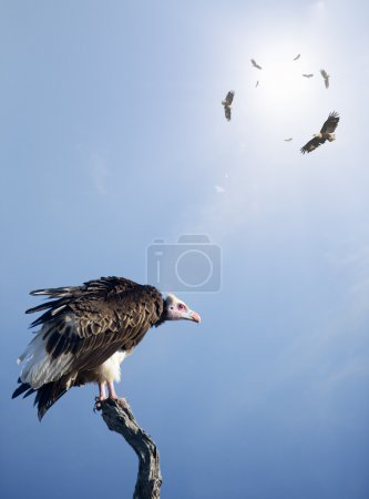 Conceptual - Vultures waiting to prey on innocent victims