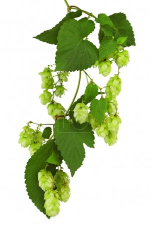 Green twig with mature cones of hop