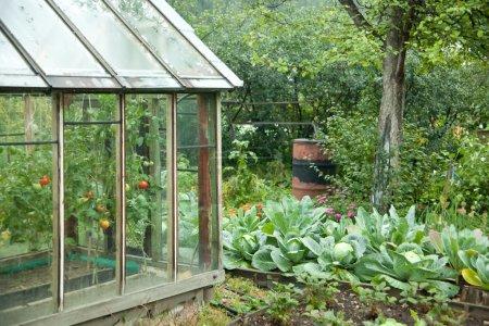 Photo pour Jardin potager : lits de serre, les pommes et les pommes de terre - image libre de droit