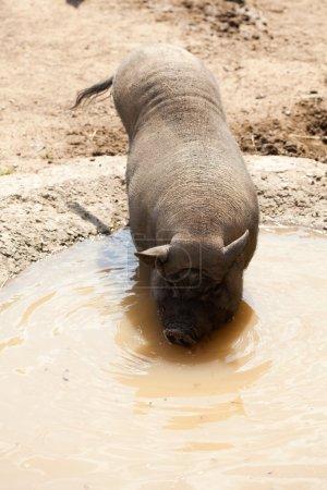 Drinking wild pig