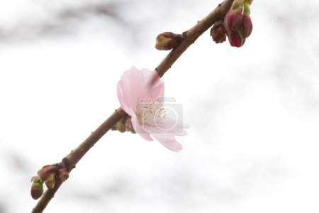 Blooming flowers on the branches of sakura blossoms against the