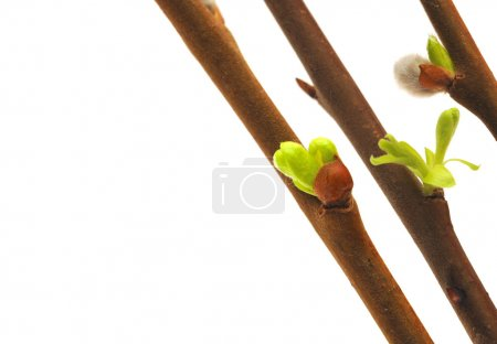 Spring bud isolated on white