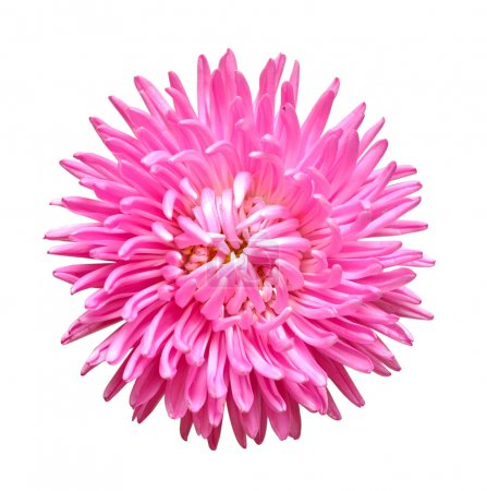 Photo for Single aster flower head isolated on white - Royalty Free Image