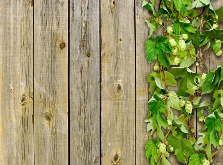 Photo for A old wooden fence and a climber plant hop - Royalty Free Image