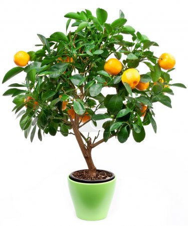 Photo pour Petit arbre de mandarines sur fond blanc . - image libre de droit