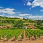 Vineyard in the famous wine making region of Beauj...