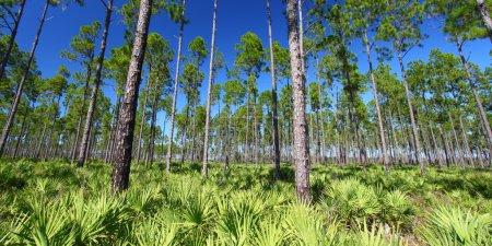 Photo pour Les magnifiques pinèdes de Floride par temps clair . - image libre de droit