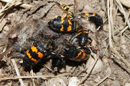 Burying Beetles Nicrophorus orbicollis