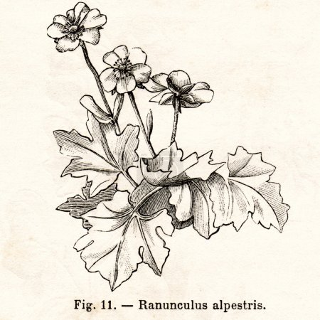 Photo pour Italie - Circa 1891 : Vintage Ranunculus Alpestris fleur illustration vers 1891 en Italie - image libre de droit
