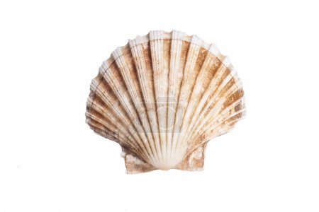 Closeup photo of scallop shell