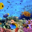 Photo of a coral colony, Red Sea, Egypt...