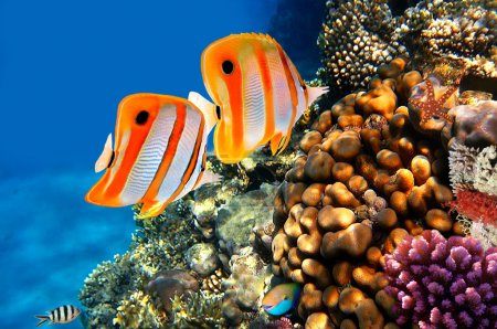 Photo for Copperband butterflyfish (Chelmon rostratus) on a coral reef - Royalty Free Image