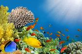 Coral rabbitfish (siganus corallinus)