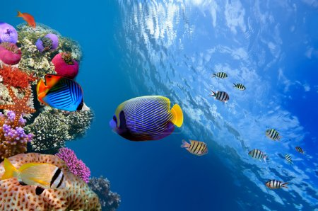 Emperor Angelfish (Pomacanthus imperator), Red Sea, Egypt