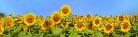 Photo pour Magnifique vue panoramique champ de tournesols en été. - image libre de droit