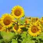 Wonderful panoramic view field of sunflowers by su...