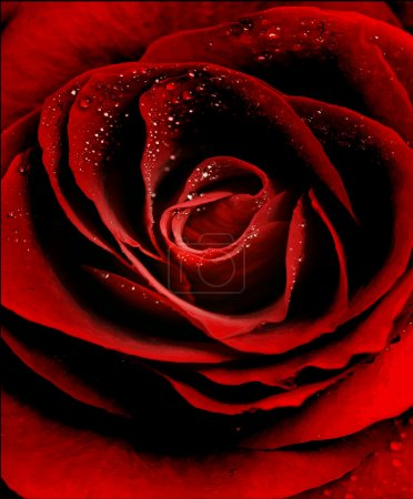 Illustration for Vector Red Rose closeup with dew drops - Royalty Free Image