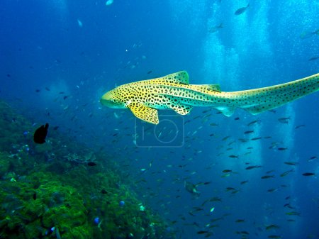 Leopard shark swimming in blue water of Andaman Sea around Phi Phi island