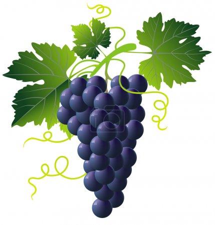 Illustration pour Bouquet de raisins bleus isolé avec des feuilles vertes sur blanc - image libre de droit