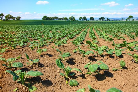 Photo for Brussels sprouts field - Royalty Free Image