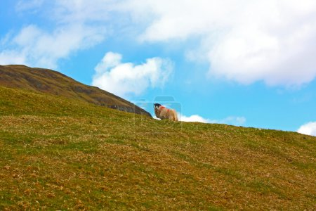 Photo for Scottish landscape with a sheep - Royalty Free Image