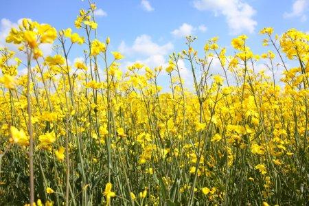 Photo pour Beaux champs de viol près du ciel bleu - image libre de droit