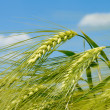 Barley spikelet on the background of field and sky...
