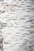 Bark of birch in the cracks texture