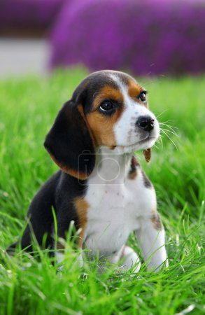Photo pour Chien beagle pedigree jouant outide dans l'herbe - image libre de droit