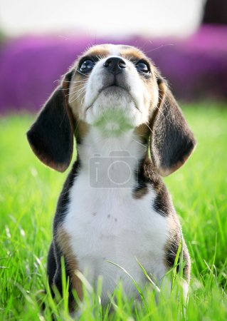 Beautiful thoroughbred beagle puppy on grass (focus on whiskers)