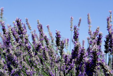 Photo for Lavender bush, aromatic plants - Royalty Free Image